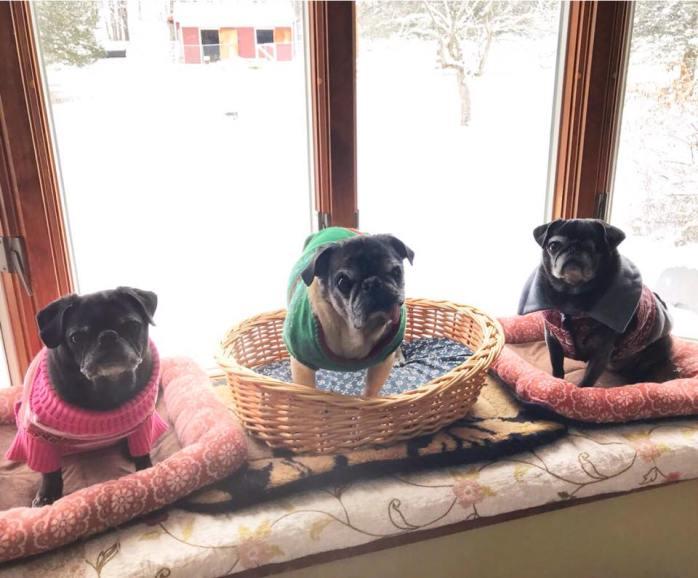 3 pugs